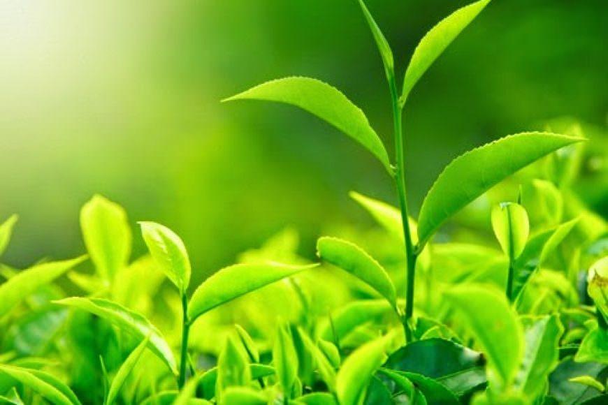 Công dụng của lá chè xanh và trà xanh (chè)