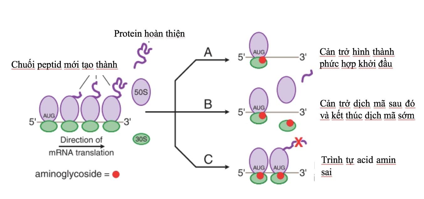 Cơ chế tác dụng của kháng sinh Aminosid