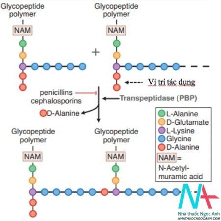 Cơ chế tác dụng của beta lactam với Staphylococcus aureus