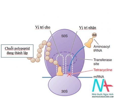 Cơ chế tác dụng của kháng sinh Tetracyclin