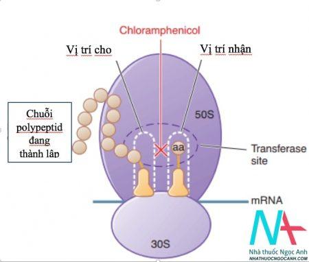 cơ chế tác dụng của kháng sinh Cloramphenicol