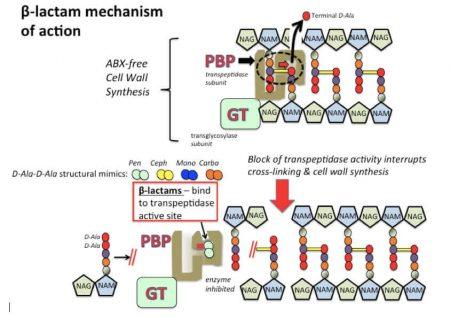 Cơ chế tác dụng của kháng sinh nhóm beta-lactam.