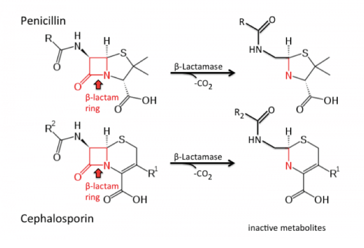 Các cấu trúc chính cho kháng sinh penicillin & cephalosporin