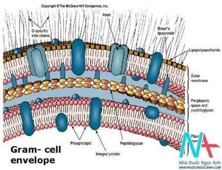 Vách tế bào vi khuẩn Gram -