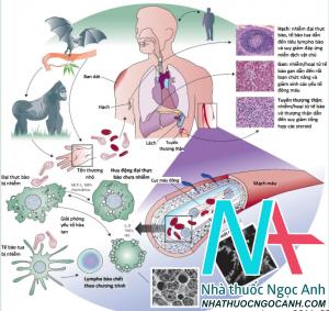 Sinh bệnh học nhiễm vi rút Ebola