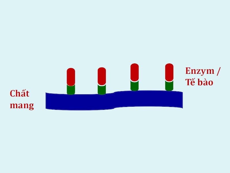 Cấu trúc hệ cố định enzyme và tế bào