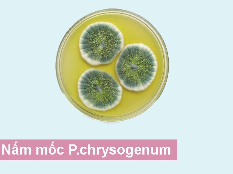 nấm mốc P.chrysogenum