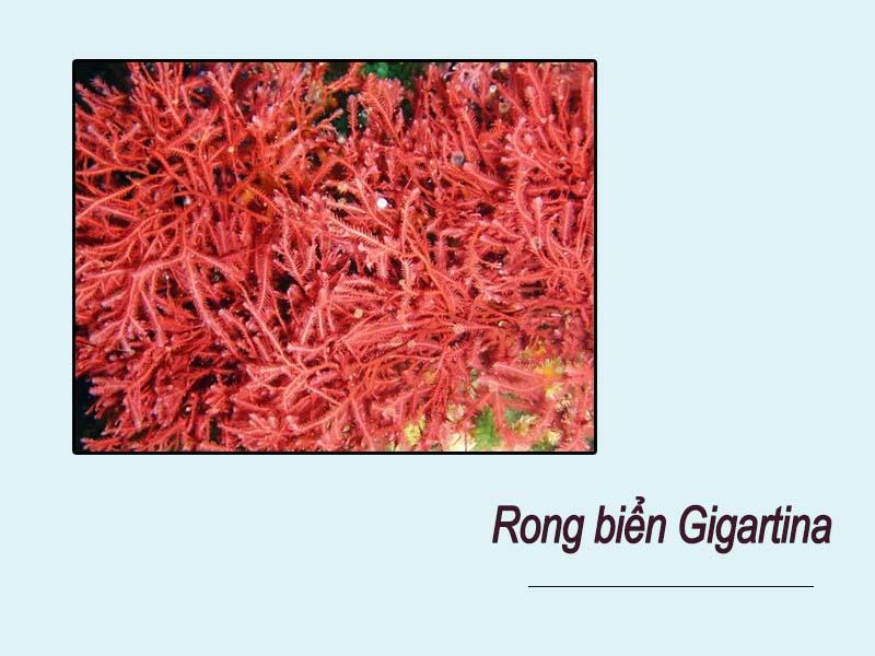 Rong biển Gigartina